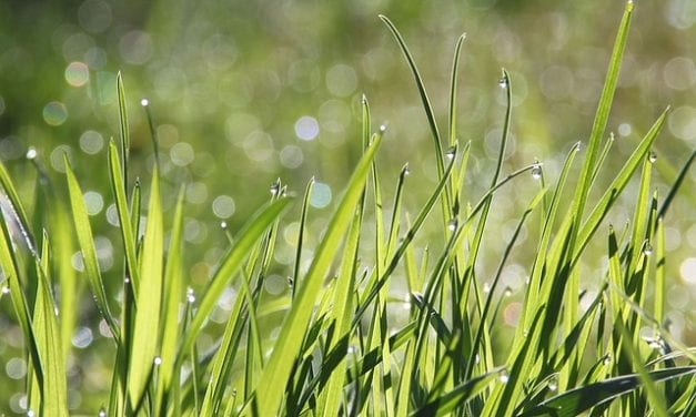 Johnson Grass… by Bob Carlton