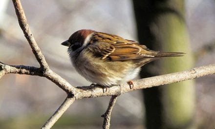 A Sparrow by Sujash Purna